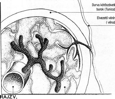 mi az erekció és hogyan történik